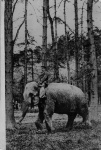 George Elephant sat on elephant in woods - Whipsnade.jpg